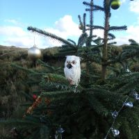 Kinder surprise - a Christmas tree owl! (Dave Shotton)