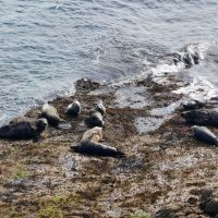 Seals at Brazen Ward (Dave Wylie)