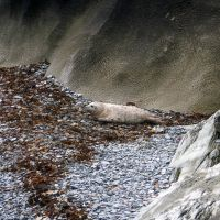 Baby Seal at the Landing Bay (Dave Wylie)